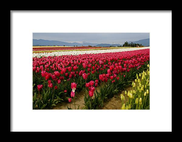 Farm Framed Print featuring the photograph Tulip Fields by Sonja Anderson