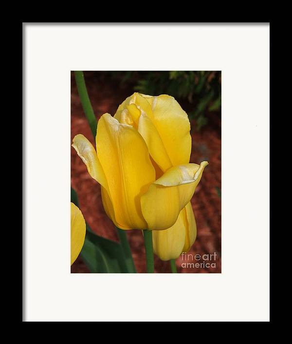Tulip Framed Print featuring the photograph Tulip by Judy Waller
