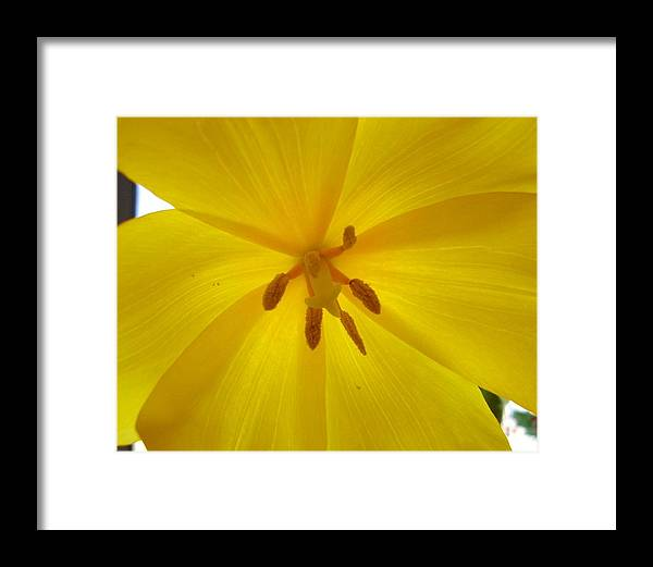 Yellow Framed Print featuring the photograph Tulip Light by Lessandra Grimley