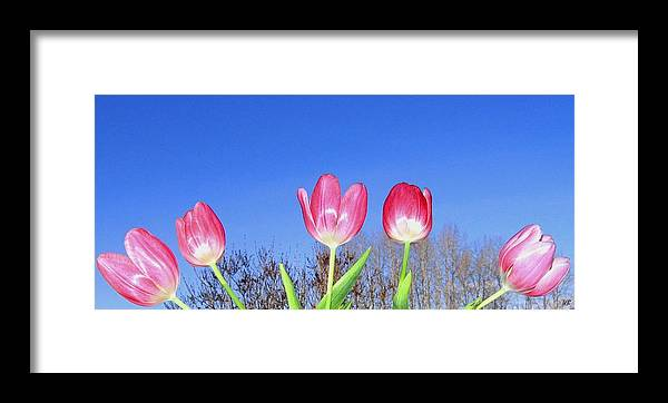 Tulips Framed Print featuring the photograph Tulip Panorama by Will Borden