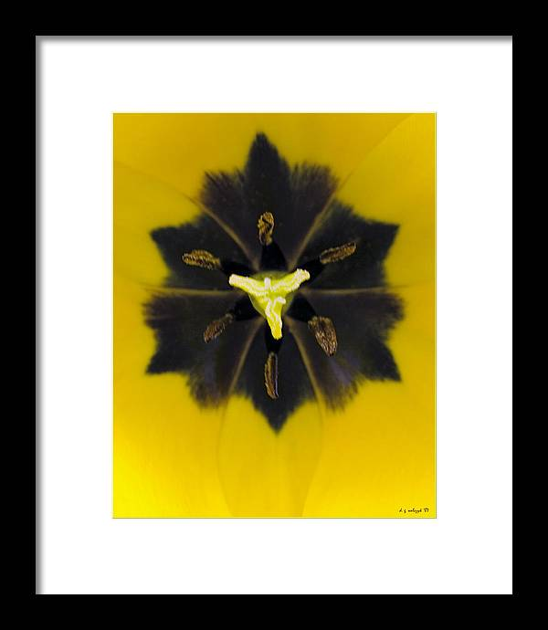 Flora Framed Print featuring the photograph Tulip Pixie by Daniel G Walczyk