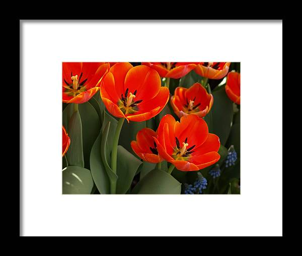 Ann Keisling Framed Print featuring the photograph Tulip Power by Ann Keisling