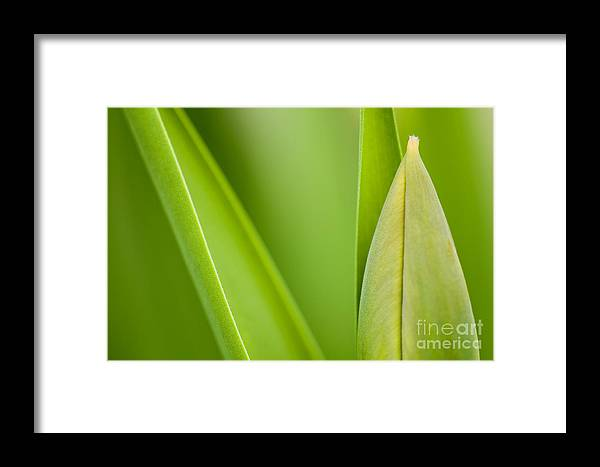 Tulip Framed Print featuring the photograph Tulip by Silke Magino