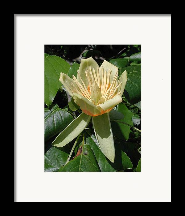 Wildflowers Framed Print featuring the photograph Tulip Tree Flower by Matt Cormons