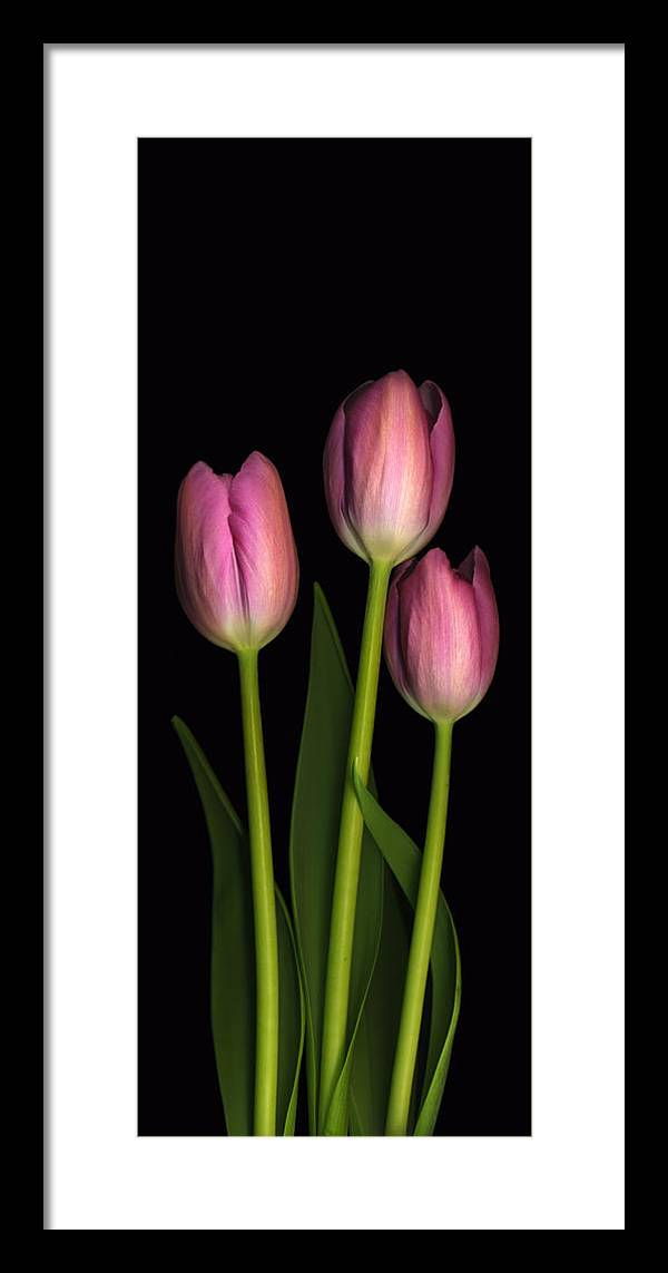 Scanography Framed Print featuring the photograph Tulip Trio by Deborah J Humphries