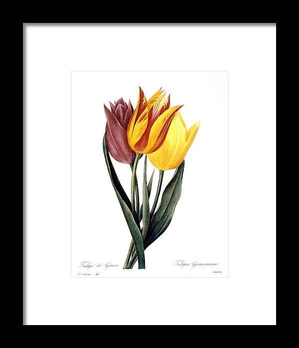 1833 Framed Print featuring the photograph Tulip (tulipa Gesneriana) by Granger
