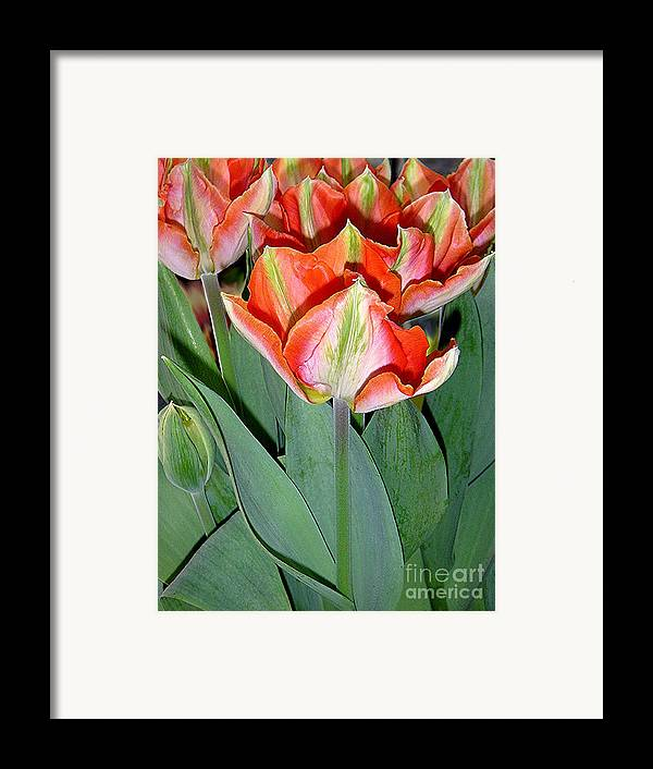 Nature Framed Print featuring the photograph Tulips - A Bunch Of Beauties by Lucyna A M Green