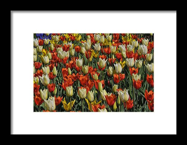 Tulip Framed Print featuring the photograph Tulips 1 by Jennifer Englehardt