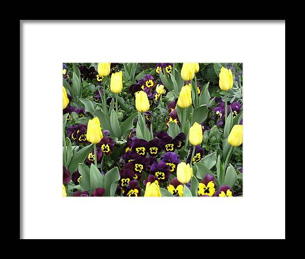 Tulips Framed Print featuring the photograph Tulips And Pansies by Mindy Newman