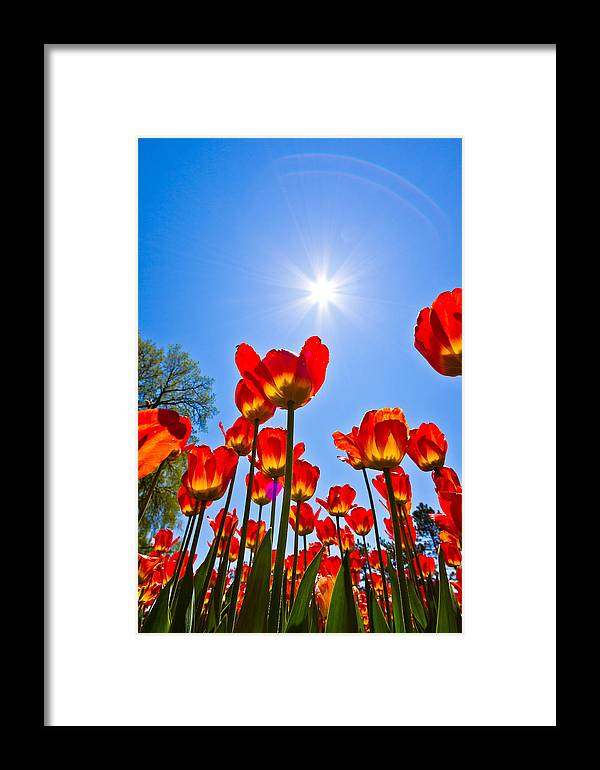 Canada Framed Print featuring the photograph Tulips At Ottawa Tulips Festival by Aqnus Febriyant