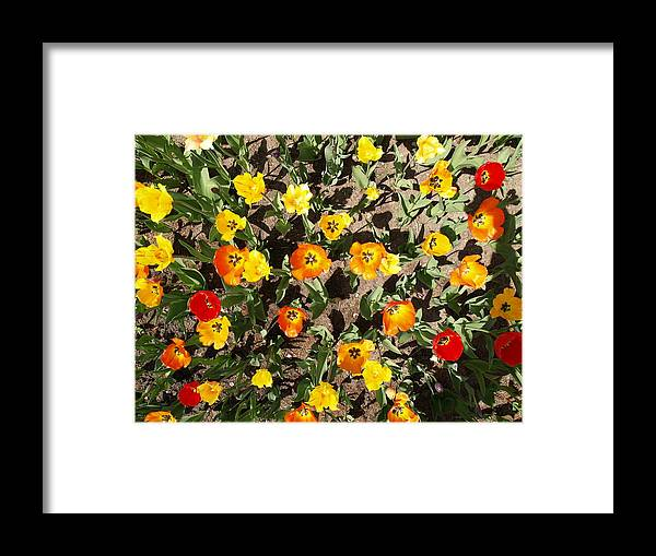 Tulips Framed Print featuring the photograph Tulips From A Birds Eye by Jacob Stempky