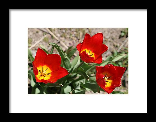 Tulips Framed Print featuring the photograph Tulips In Bloom by Janet Hall