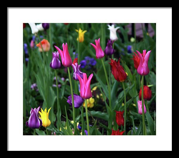 Tulips Framed Print featuring the photograph Tulips by Mark Ivins
