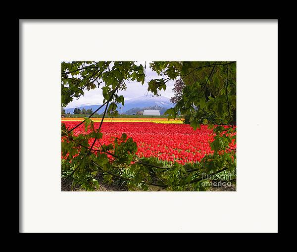 Tulip Framed Print featuring the photograph Tulips Secret Window by Louise Magno