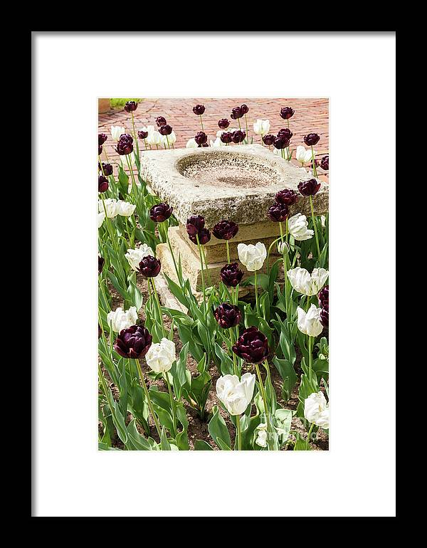Tulip Framed Print featuring the photograph Tulips Surround The Bird Bath by Terri Morris