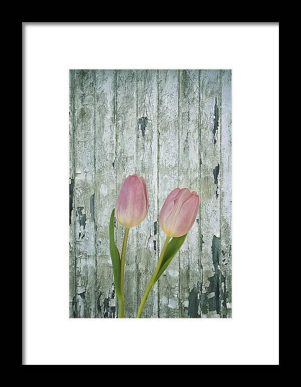Pink Tulip Framed Print featuring the photograph Tulips Two by Kim Hojnacki