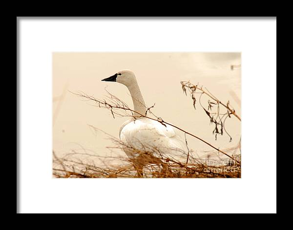 Bird Framed Print featuring the photograph Tundra Swan by Dennis Hammer