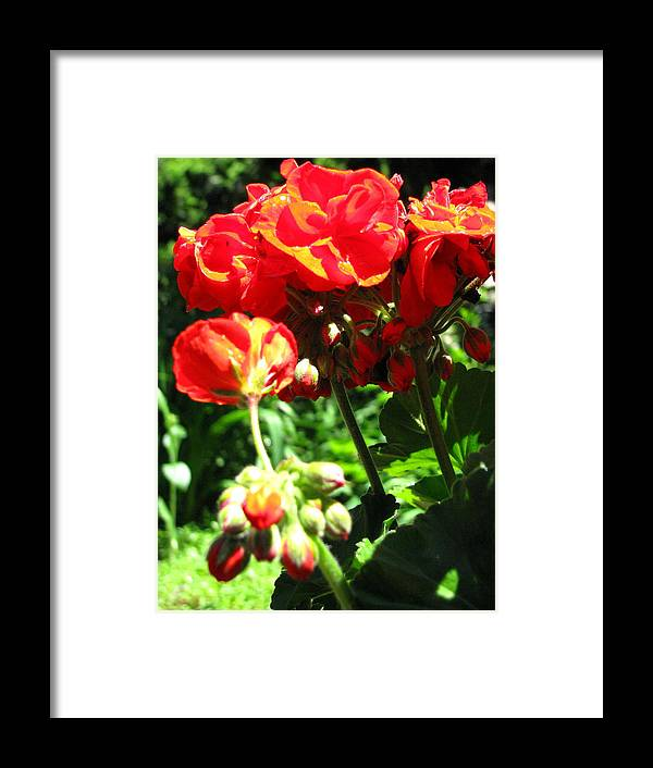 Geraniums Framed Print featuring the photograph Turned Away by Belinda Consten