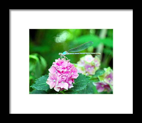 Dragonfly Framed Print featuring the photograph Turquiose Dragonfly And Hydrangea by Heather S Huston