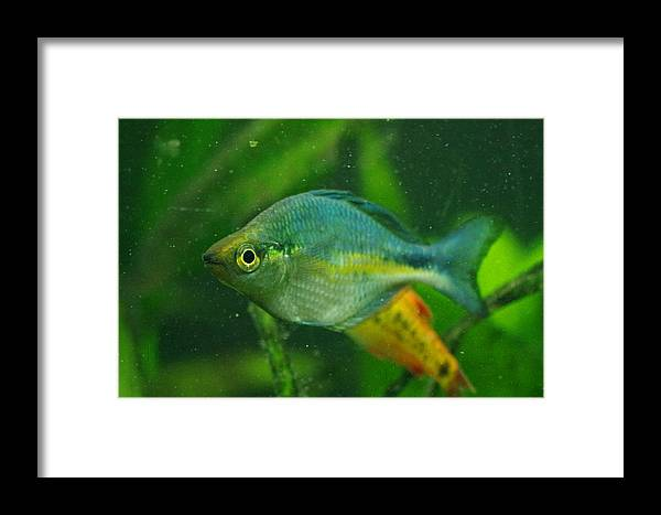 Turquoise Framed Print featuring the photograph Turquoise Rainbowfish 2 by Aaron Rushin