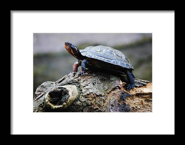 Turtle Framed Print featuring the photograph Turtle And The Hippo by Eric Liller