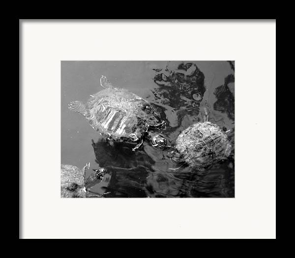 Turtles Framed Print featuring the photograph Turtle Pond by Lindsey Orlando