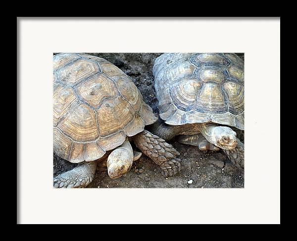 Turtles Framed Print featuring the photograph Turtle Turtle by Kim