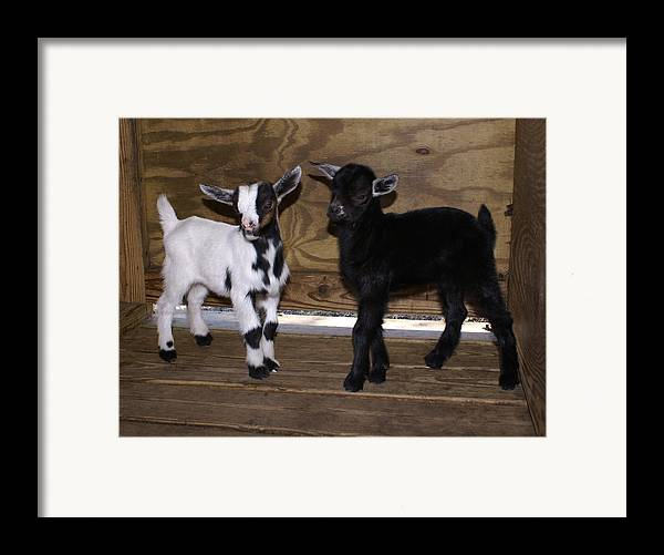 Baby Goat Twins Framed Print featuring the photograph Twin Kids by Debbie May