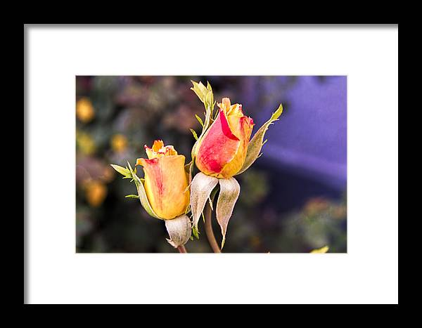 Flowers Framed Print featuring the photograph Twin Roses Of Love by Bruce Bottomley