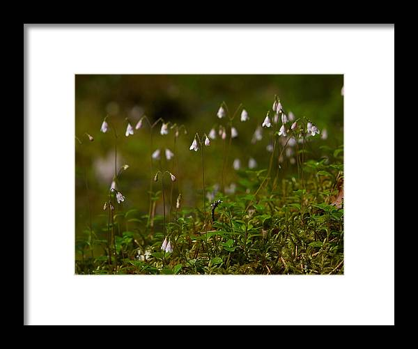 Helvetinjarvi National Park Framed Print featuring the photograph Twinflower by Jouko Lehto