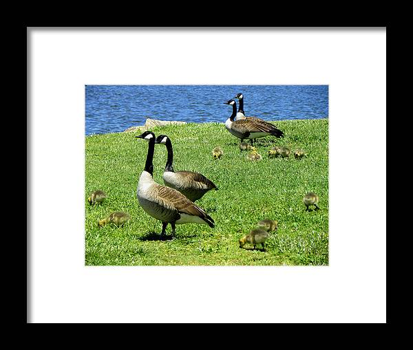 Geese Framed Print featuring the photograph Two By Two by Sandi OReilly