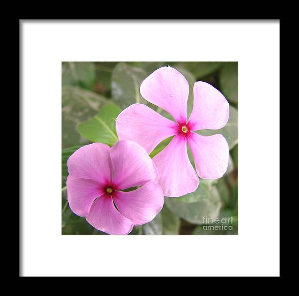 Rosy Periwinkle Framed Print featuring the photograph Two Flowers- Rosy Periwinkle by Shariq Khan