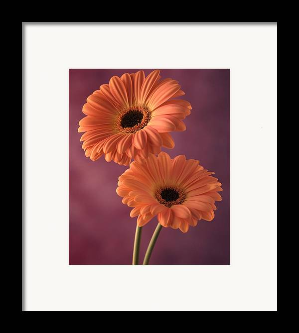 Flora Framed Print featuring the photograph Two Gerberas 2 by Joseph Gerges