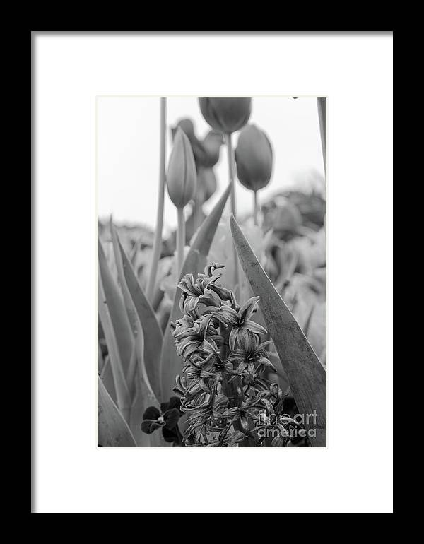 Hyacinth Framed Print featuring the photograph Two Lips And A Hi by John Manuel
