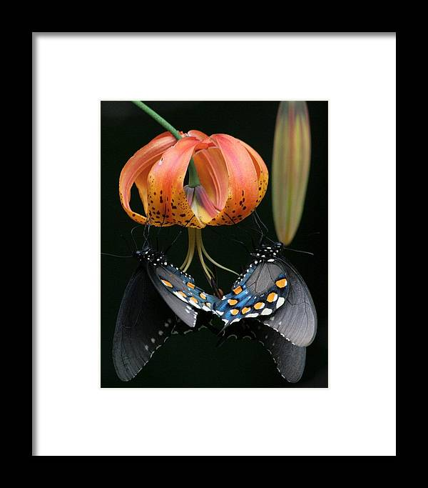 Spicebush Swallowtail Framed Print featuring the photograph Two Spicebush Swallowtail Butterflies On A Turks Cap Lily by David Rowe