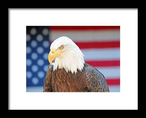 Eagle Framed Print featuring the photograph Typicus Libertas by Dennis Hammer