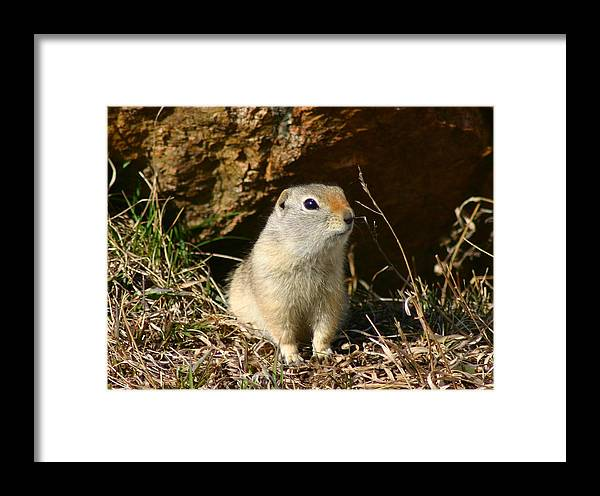 Sruirrel Framed Print featuring the photograph Uinta Ground Squirrel by Perspective Imagery
