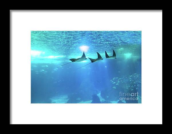 Manta Ray Framed Print featuring the photograph Underwater Manta Background by Benny Marty