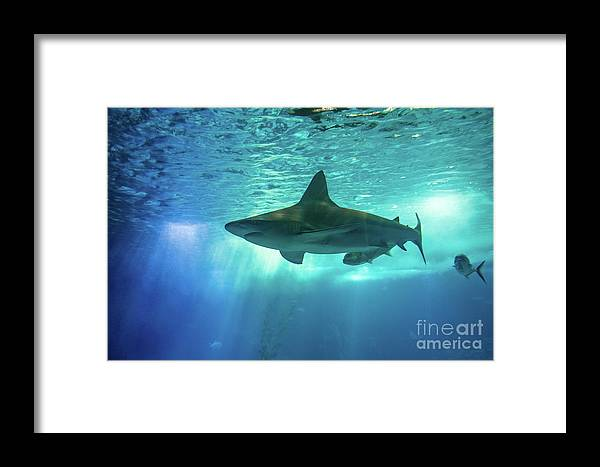 Underwater Framed Print featuring the photograph Underwater White Shark by Benny Marty