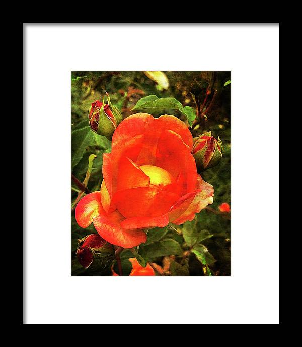Roses Framed Print featuring the photograph Unfolding by Rebecca Renfro
