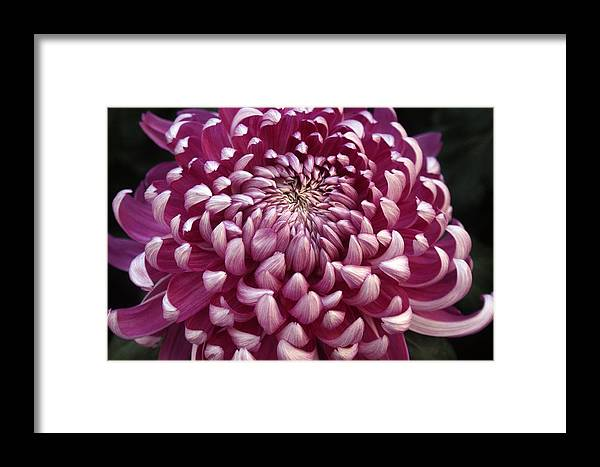 Flower Framed Print featuring the photograph Unfurl by Kat Dee