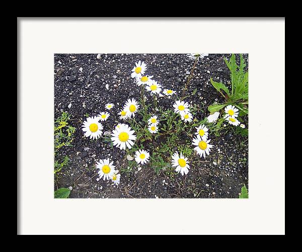 Daisy Nature Asphalt Flowers Framed Print featuring the photograph Up From The Asphalt I by Anna Villarreal Garbis