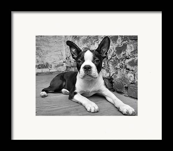 Boston Terrier Framed Print featuring the photograph Urban Hound by Crystal Rolfe