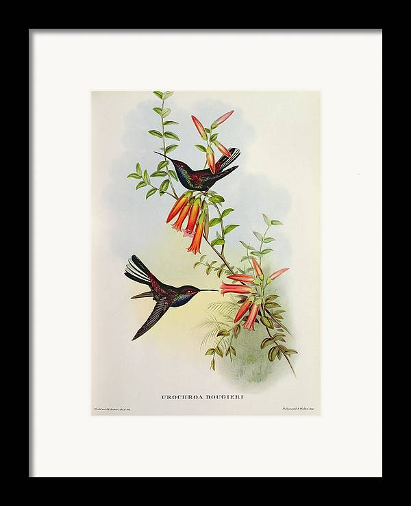 Urochroa Framed Print featuring the painting Urochroa Bougieri by John Gould