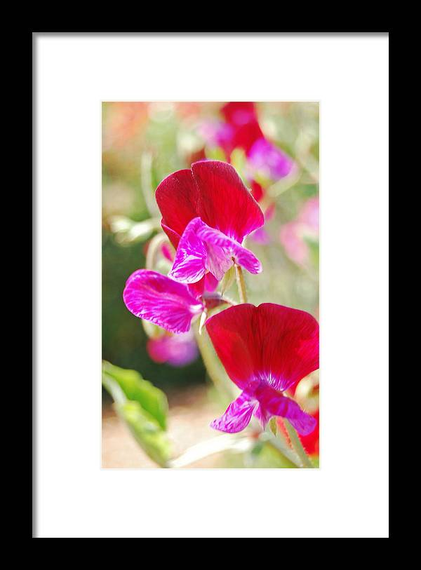 Sweet Peas Framed Print featuring the photograph Valentine Sweet Peas by Jean Booth
