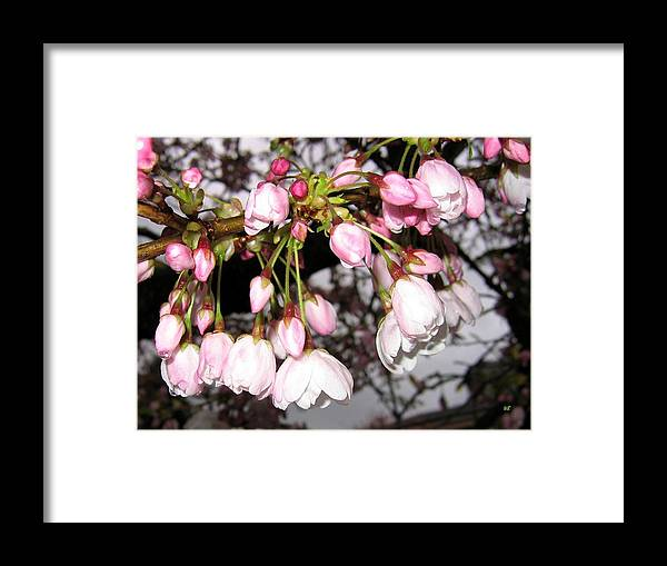 Cherry Blossoms Framed Print featuring the photograph Vancouver Cherry Blossoms by Will Borden
