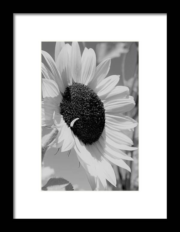 Sun Flower Framed Print featuring the photograph Vanilla by Claudette Letendre