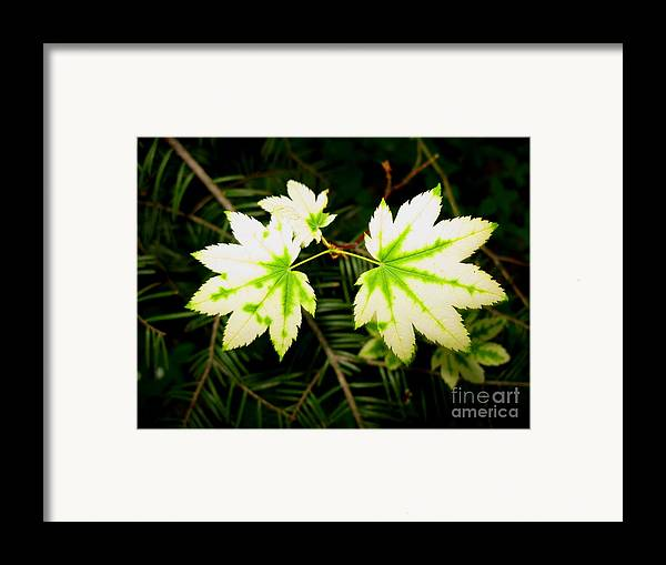 Plant Framed Print featuring the photograph Variegated Vine Maple by PJ Cloud