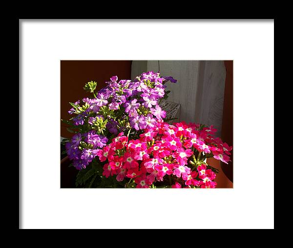 Verena Framed Print featuring the photograph Verbena by Elise Boam