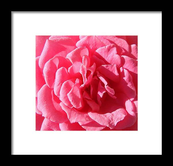 Rose Framed Print featuring the photograph Very Pink Mini by Liz Vernand